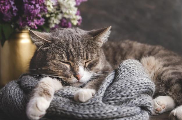 Серый полосатый кот спит на вязаном шарфе. серая домашняя кошка на фоне сиреневого букета.
