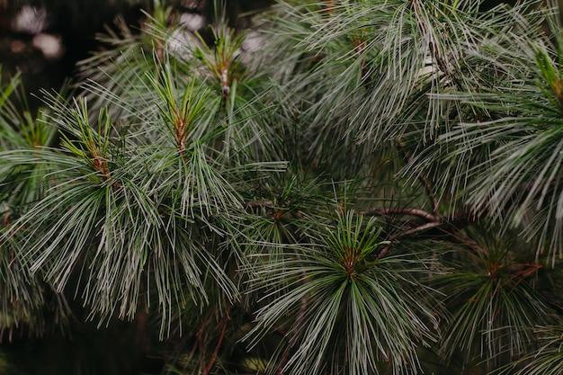 長い針のクローズアップと杉の枝。杉