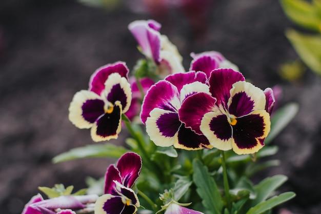 Фиолетовые анютины глазки в саду