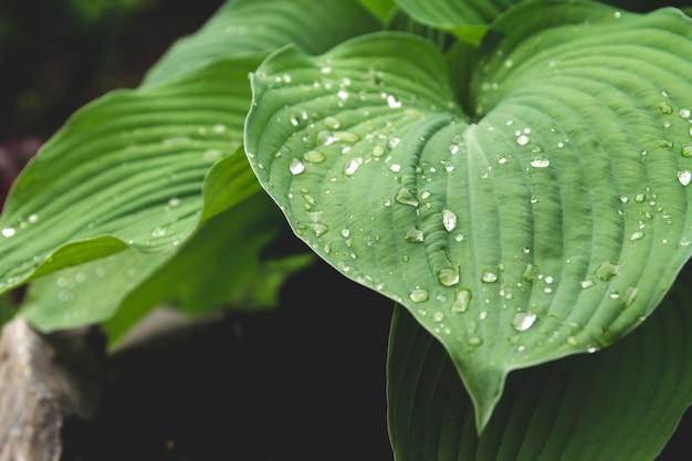 雨の後濡れた青いギボウシの葉。庭のギボウシ。