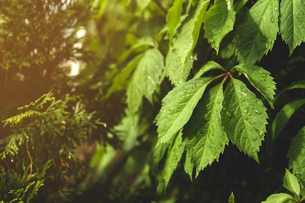 野生ブドウの湿った葉。雨上がりの緑の葉。
