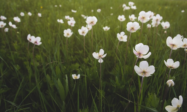 フィールドに野生のアネモネの花。