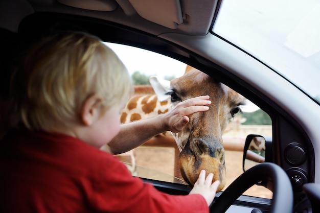 父と幼児の子供がサファリパークで見ているとキリンの動物に餌をやる。