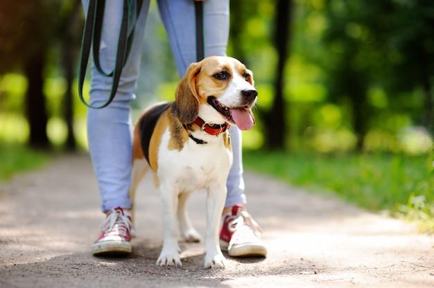 夏の公園でビーグル犬と一緒に歩いている若い女性。飼い主のいる従順なペット
