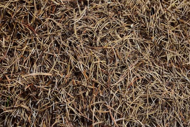 Муравейник в лесу швейцарского национального парка в качестве фона. муравьи и хвои.