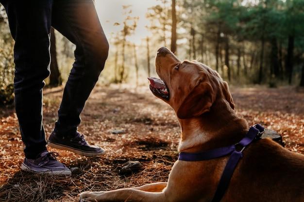 口を開けて、森に座って、日差しの中で日没で彼の所有者を見上げてラブラドール犬のシルエット。ハンター犬のコンセプト