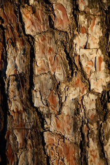 森の夕暮れ時の松の木の樹皮のクローズアップの背景。木製の背景概念。