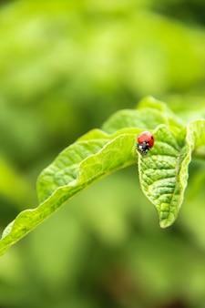 緑の葉のてんとう虫。てんとう虫のクローズアップ。