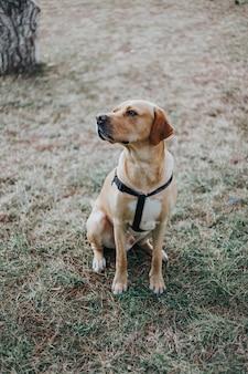 森の草の上に座ってラブラドール犬