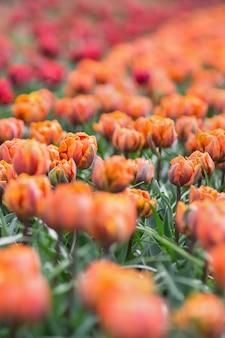 Красивые удостоенные наград тюльпаны