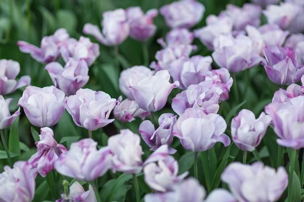 紫と白のチューリップのクローズアップ