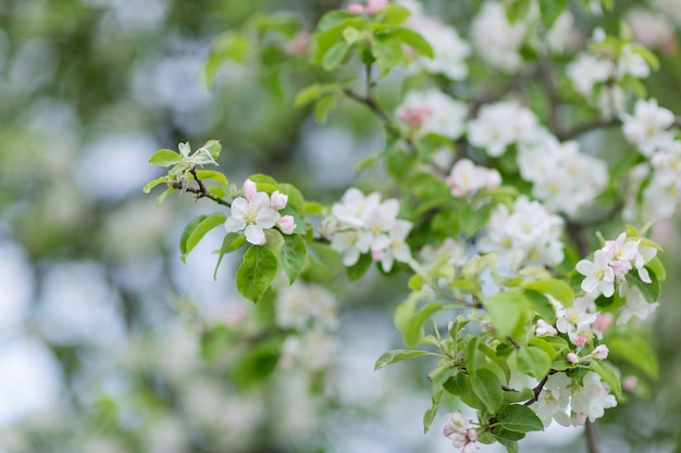 咲くリンゴの木の枝。
