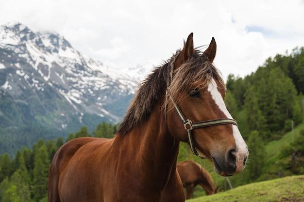 スイスの牧草地に巻き毛のたてがみ茶色の馬