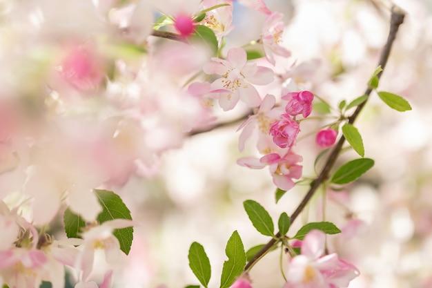 ピンクの花の木の枝。背景をぼかし。クローズアップ、セレクティブフォーカス。