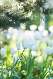 松の木の下の白いチューリップ。セレクティブフォーカス、背景をぼかした写真。