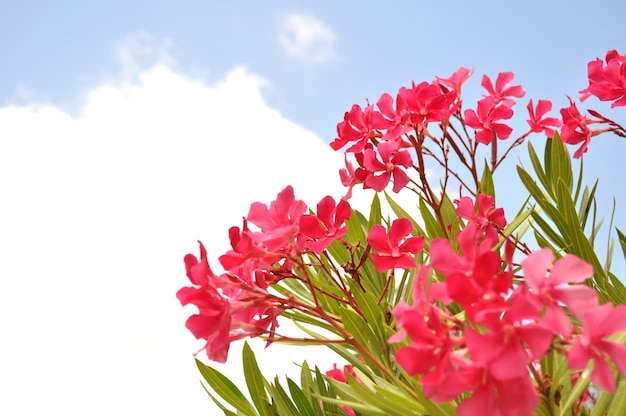Летние цветы розового цвета