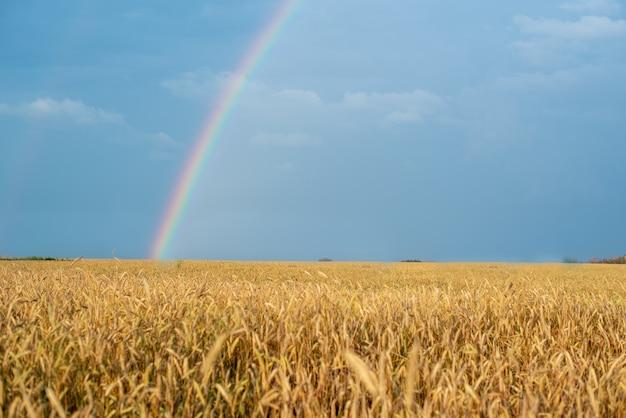 Пейзаж с радугой после дождя и пшеничное поле с золотыми ушами