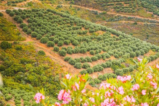 ギリシャのプランテーションの若いオリーブの木。