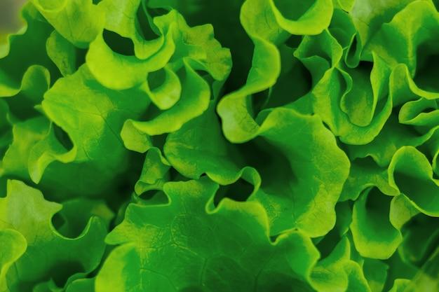 緑の若いレタス、緑の平面図クローズアップ葉。鮮やかな緑の質感が特徴