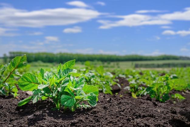 Конец-вверх молодого всхода картошки в саде. картофельная плантация, сельское хозяйство, осенний урожай