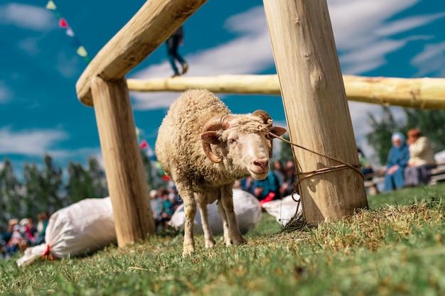 ポストに縛られた若い子羊。民俗祭