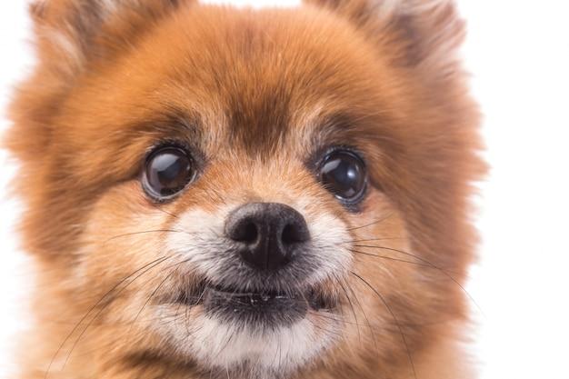 小さな赤い犬は、白い背景に横たわる