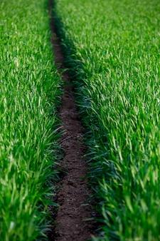穀物のフィールドにパス