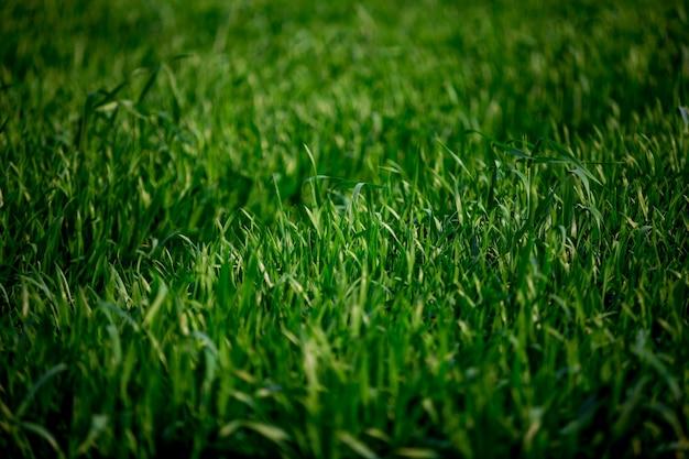 穀物のフィールド