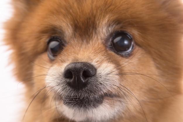 小さな赤い犬は白い背景に横たわる