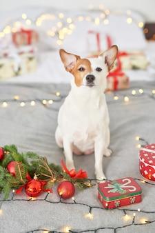 新年の装飾のベッドでクリスマス犬ジャックラッセル