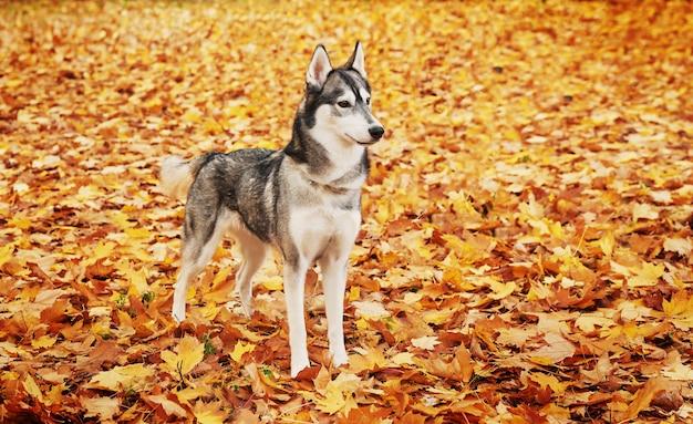 秋の公園でハスキー犬、カレンダーの犬
