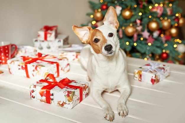 新年の犬ジャックラッセルテリアはクリスマスツリーの近くに座っています。