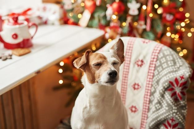 メリークリスマス。クリスマスツリーで飾られた家の犬ジャックラッセルテリアとギフトは幸せな休日とクリスマスイブを望みます。はがきテンプレートとカレンダー。クリスマス犬のジャックラッセルテリア
