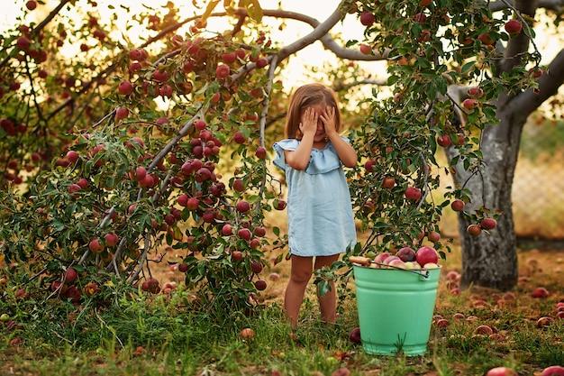Ребенок в яблоневом саду. ребенок, сбор яблок на ферме осенью.