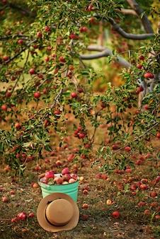 Спелые яблоки в саду готовы к уборке. органические яблоки вися от ветви дерева в яблоневом саде.