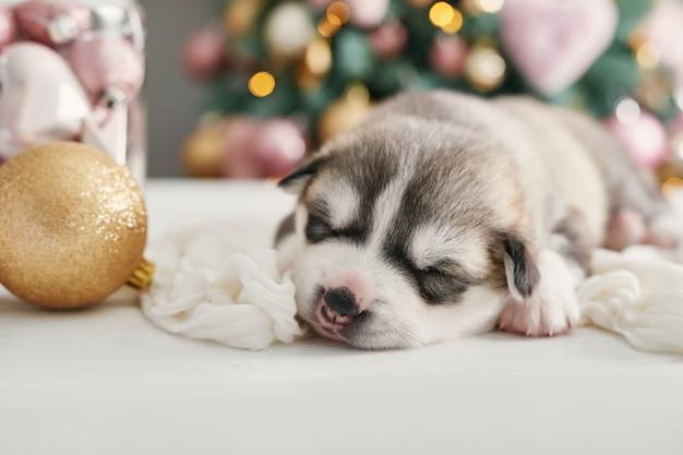 Счастливого рождества собака, хаски новорожденного щенка. рождество и новый год щенок сибирской хаски. шаблон для китайского гороскопа и календаря.