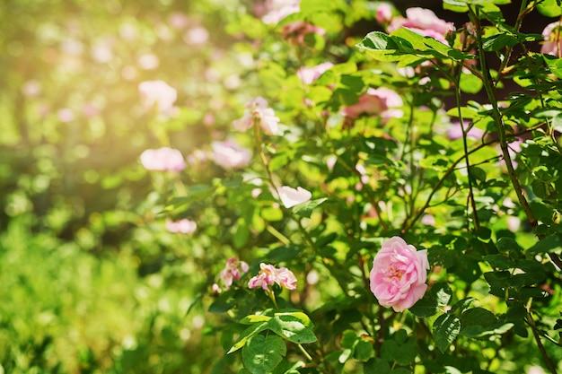 日没時の夏の開花ブッシュと前庭