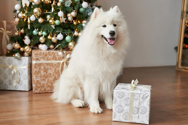 Белая собака породы самоед на новый год