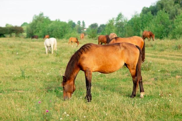 夏の牧草地の馬のグループ