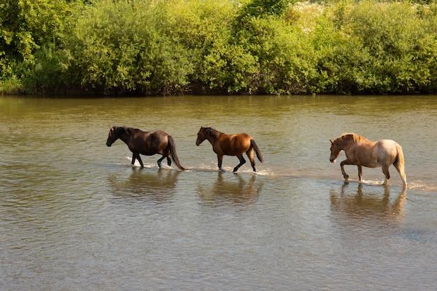 川を渡って走っている馬のグループ
