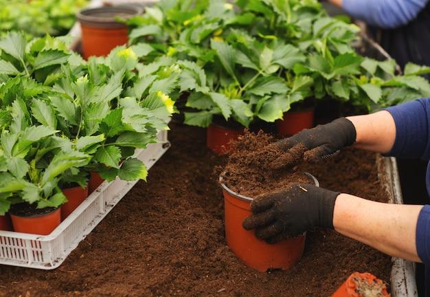 Крупным планом женских рук с перчатками, держа цветочный горшок с рассады в теплице