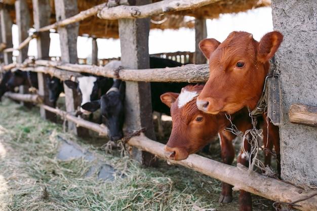 農業産業、農業および畜産の概念、酪農場の牛舎の牛の群れ
