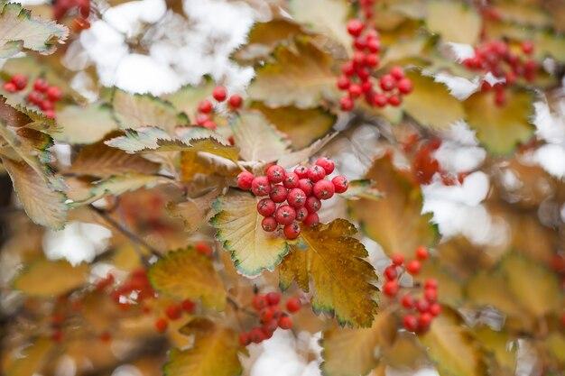 庭の赤いガマズミ属の木の枝。ガマズミ属の木ガマズミ属のオプラの果実と葉は秋の秋に屋外。枝に赤いガマズミの果実の束。
