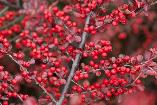 クマコケモモの明るい赤い果実。