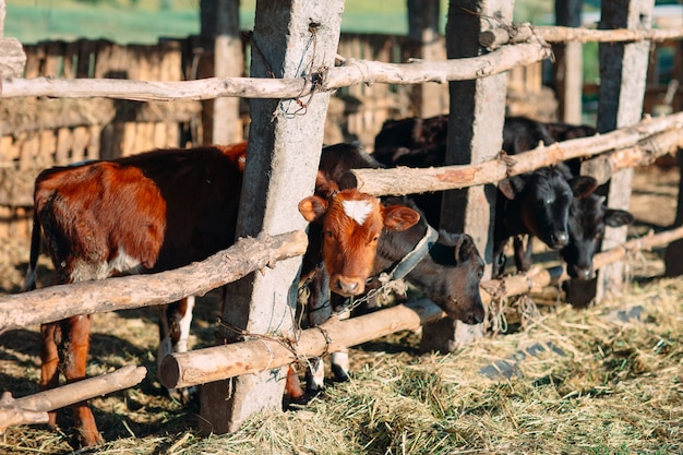 農業産業、農業、畜産のコンセプト。酪農場の牛舎で牛の群れ