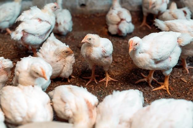 養鶏場の白いブロイラーチキン。