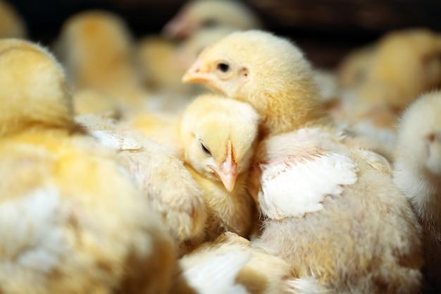 Цыплята цыплят-бройлеров на птицефабрике.