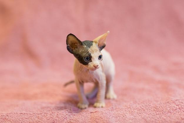 スフィンクス(カナダの毛のない)子猫