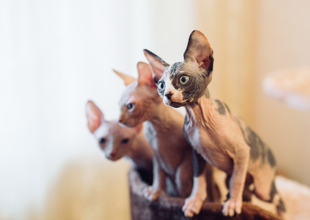 Голая сфинкс кошка.