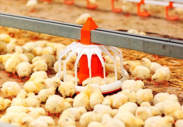 В помещении птицефабрика, кормление кур